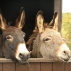 donkeys-cool facts5