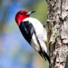 red-headed-woodpecker (2)