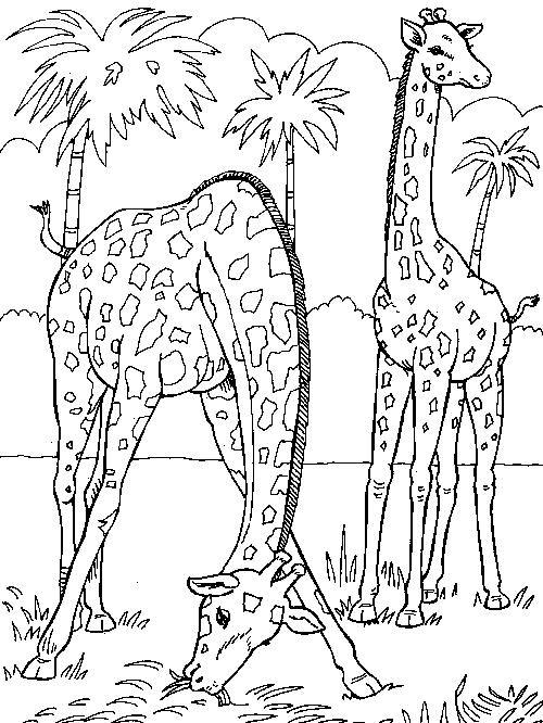 Giraffes-coloring-page-2