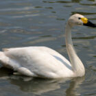 bewicks-swan