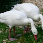 coscoroba-swan