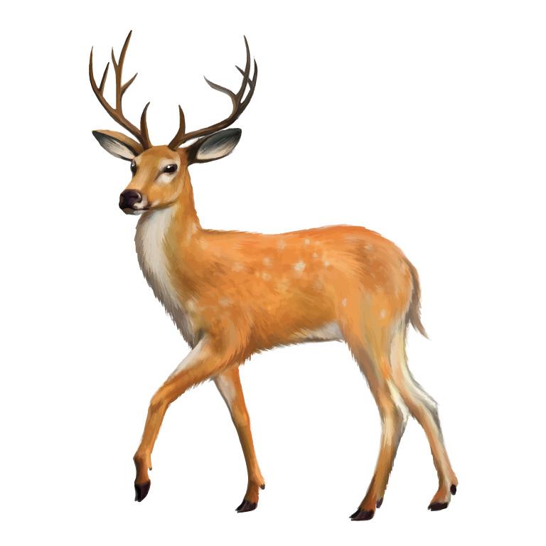 deer11