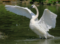trumpeter-swan