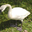 whistling-swan