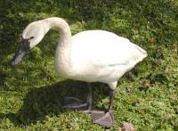 whistling-swan