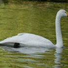 whooper-swan
